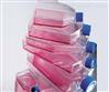 MDA-MB-231人乳腺癌细胞